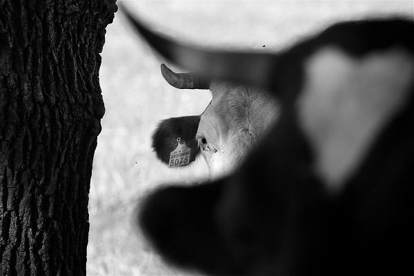 Павло Мазай представить фотопроект про корів